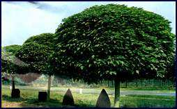 Algunas especies de plantas que utilizamos en la creaci n for Arboles para jardin de hoja perenne