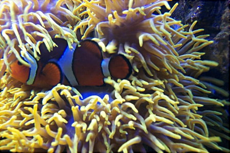 Marine fish for Clown fish scientific name