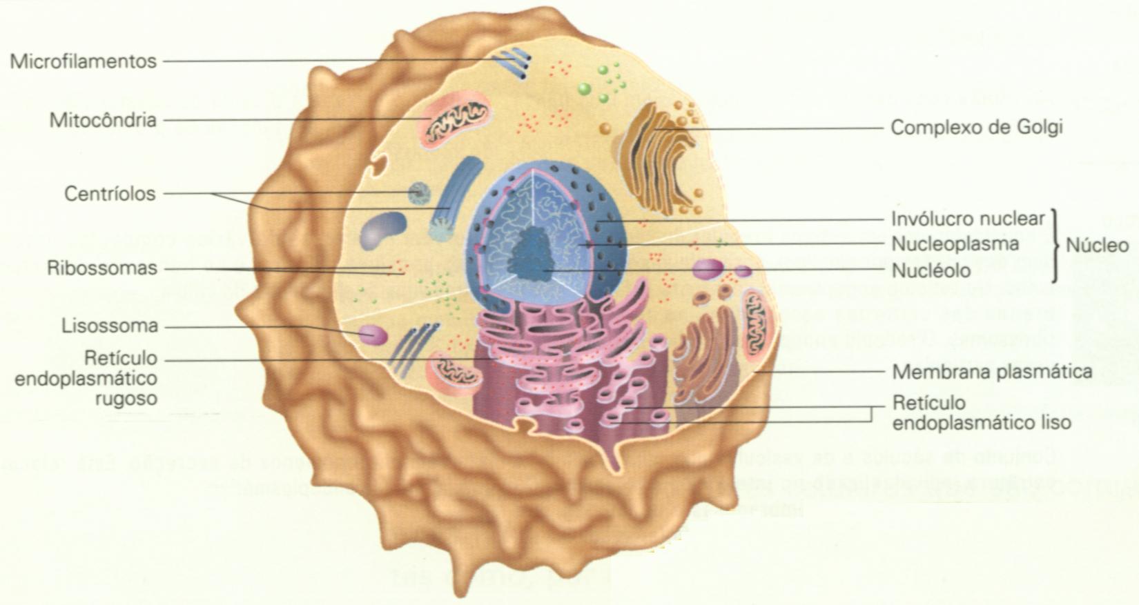 Celulas Celula Eucariotica Animal Clique Na Imagem Para Ampliar