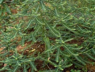 Phyllantus niruri dikenali dengan nama tempatan sebagai dukung anak
