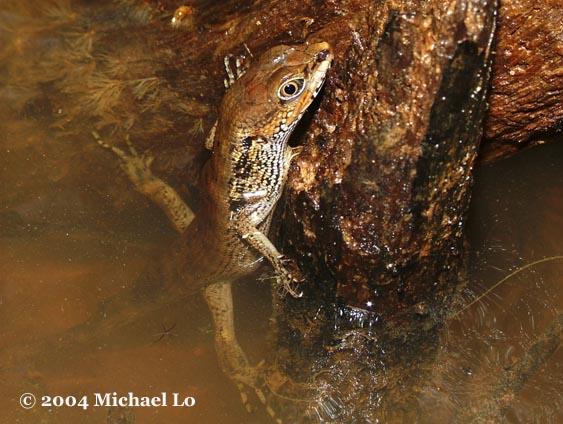 Photo2 for Water lizard fish