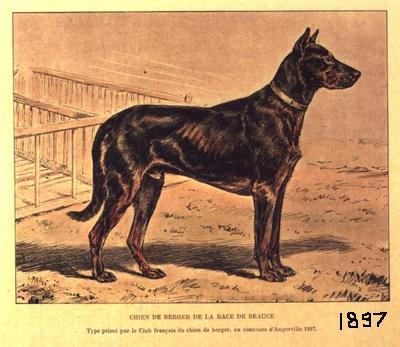 Information sur le Beauceron / Information on the beauceron