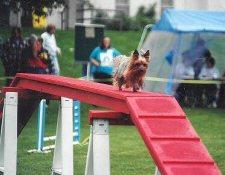 Akc Regulation Dog Walk